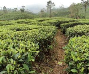 Fertirrigação do chá: Alimentação de precisão